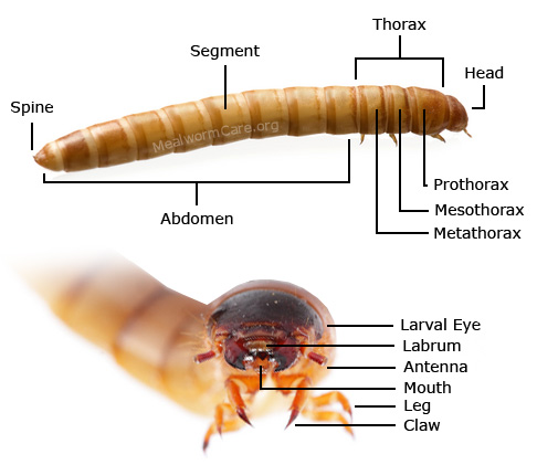 Mealworm Anatomy on Caterpillar Body Parts Diagram